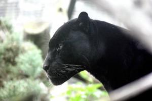 krafttier schwarzer panther